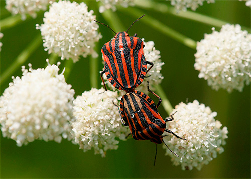 Клоп линейчатый (Graphosoma lineatum)