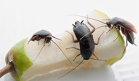 Черные тараканы предпочитают влажные отходы