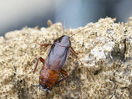 Фото самца черного таракана