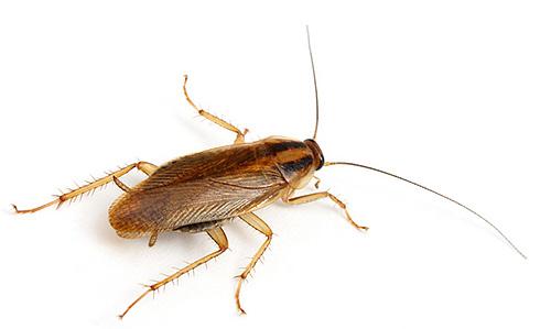 Знакомимся с различными видами домашних тараканов