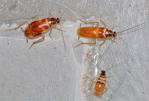 Фото мебельных тараканов