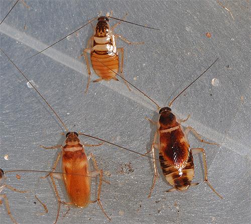 Мебельные тараканы