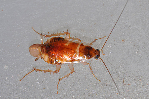 Фото мебельного таракана крупным планом