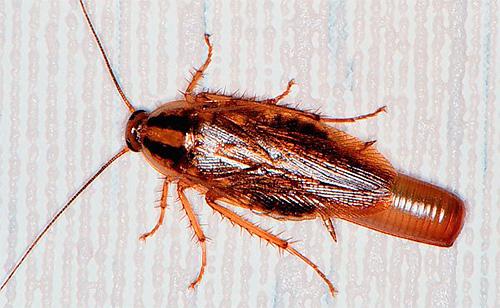 Самка рыжего домашнего таракана с оотекой