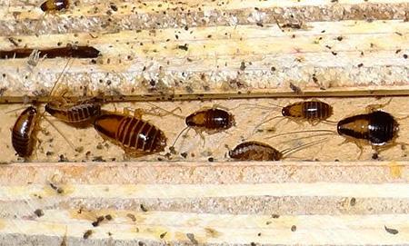 Личинки рыжего таракана разных возрастов