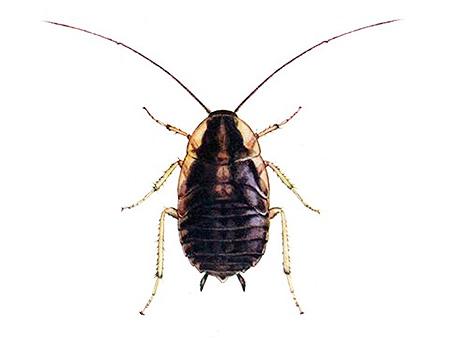 Фотография личинки рыжего таракана крупным планом