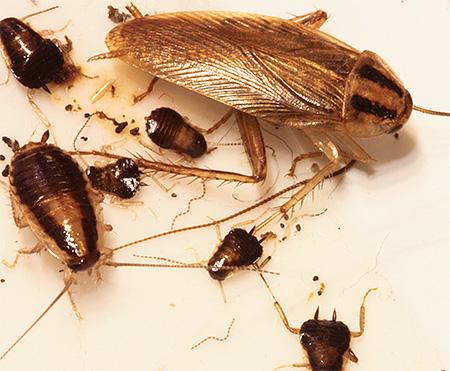 Взрослая особь рыжего домашнего таракана и личинки
