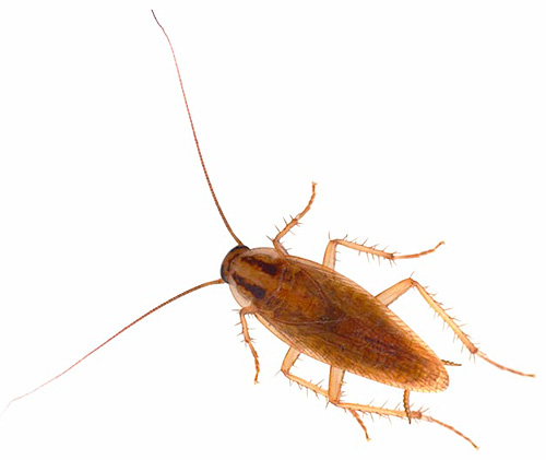 Самец рыжего домашнего таракана