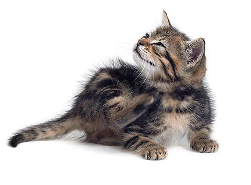 Если приснились блохи на кошке или котенке