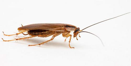 Разные сонники по-разному толкуют появление рыжего таракана во сне
