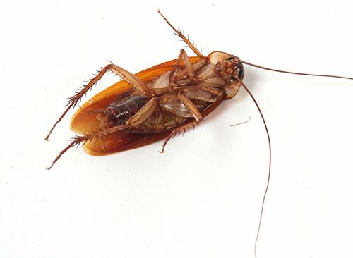 Как избавиться от тараканов в домашних условиях народные средства