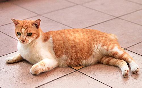 Бороться с блохами у беременных кошек нужно особенно аккуратно