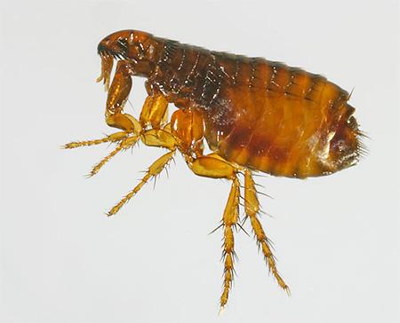 Инсектициды, используемые в современных препаратах, очень токсичны для блох