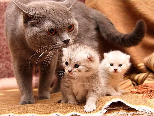 Запрещено обрабатывать препаратами от блох котят до отлучения их от матери