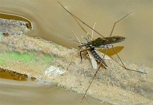 Клоп водомерка обычно питается мелкими насекомыми