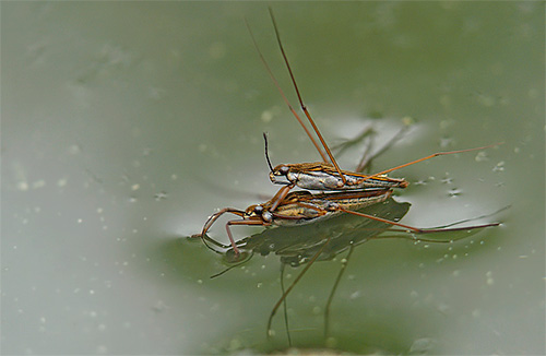 Размножение клопов водомерок