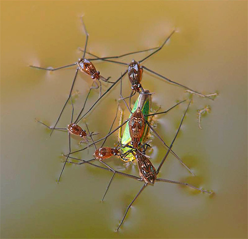 Африканские водомерки