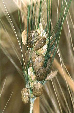 Клопы черепашки на пшеничном колосе