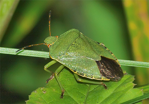 Зеленый клоп (иначе - древесный или щитник)