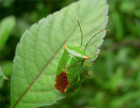 Зеленый клоп не является опасным вредителем садов и огородов