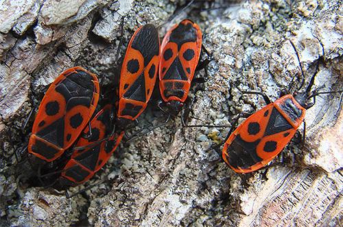Клоп солдатик (Pyrrhocoris apterus)