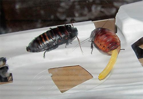 Самка мадагаскарского таракана проветривает оотеку