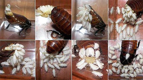 Роды мадагаскарского шипящего таракана