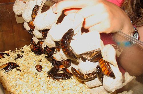 Важно не допускать отсырения подстилки в домике для тараканов