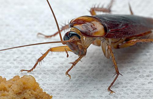 Обзор наиболее популярных народных методов борьбы с тараканами в квартире