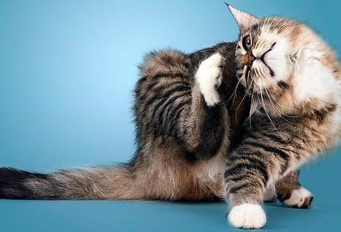 Поговорим об ошейниках от блох для кошек