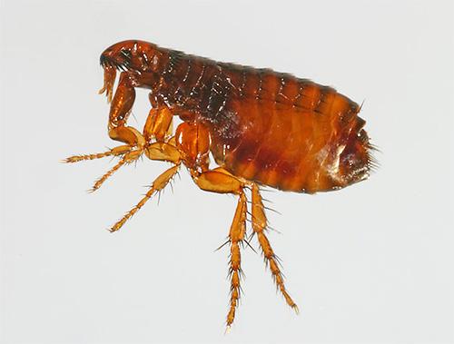 Ошейники от блох содержат инсектициды и отпугивающие вещества