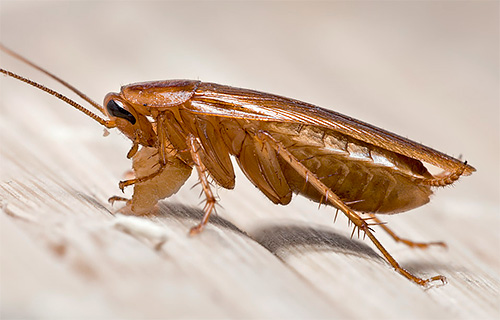 Разбираемся, откуда в квартире берутся тараканы