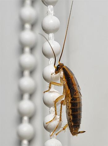 Тараканы способны быстро и легко перемещаться из квартиры в квартиру