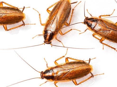 Чтобы тараканы не появились вновь, полезен ряд профилактических мер