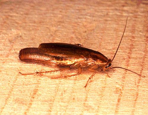 Беременная самка таракана (с яйцом-оотекой)