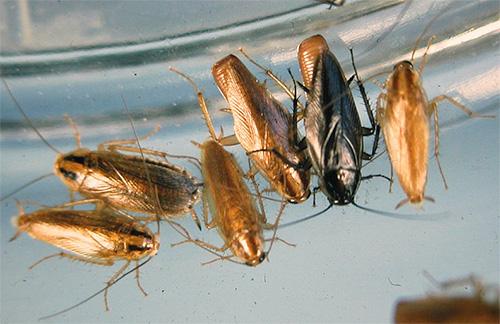 Рыжие тараканы постепенно вытеснили черных