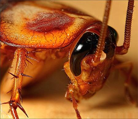 Тараканы переносят на себе возбудителей заболеваний