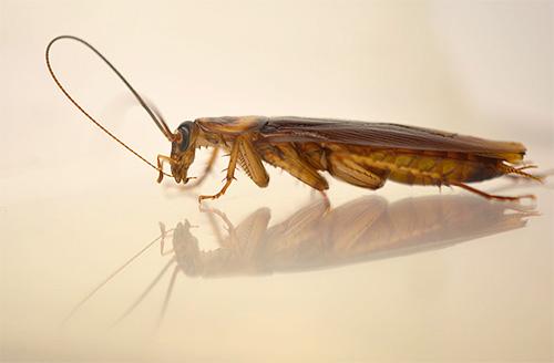 Рыжие тараканы обычно питаются ночью
