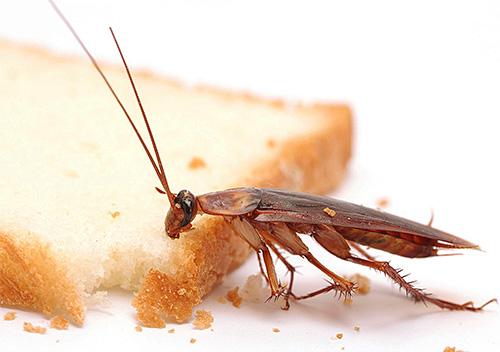 Остатки еды человека являются отличной пищей для тараканов