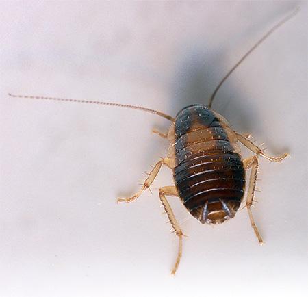 Фото личинки рыжего таракана (нимфа)