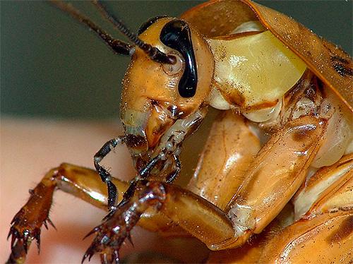 Хлорпирифос способен вызывать гибель таракана даже просто при контактировании с внешними покровами его тела