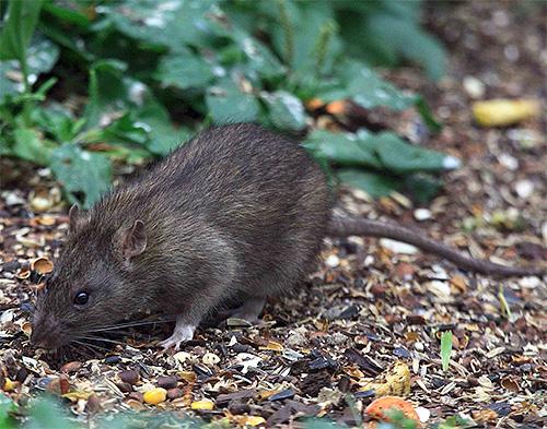 Серая крыса - переносчик чумы