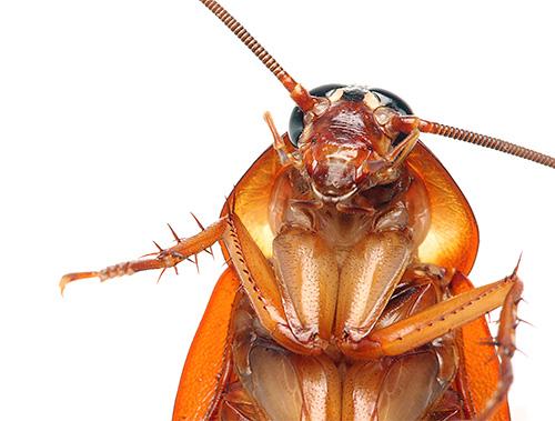 Знакомимся с различными видами тараканов