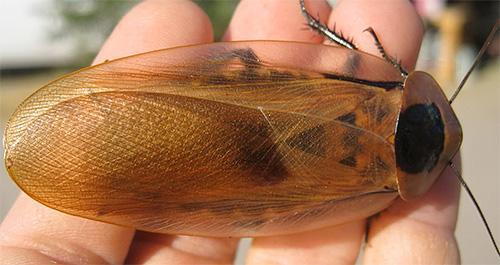 Таракан Мертвая голова (Blaberus craniifer)