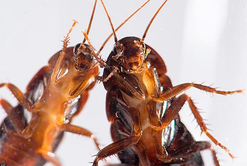 Несколько советов по выбору эффективного средства от тараканов