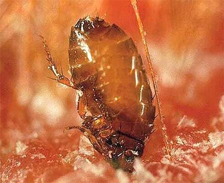 Блоха вгрызается в кожу при укусе