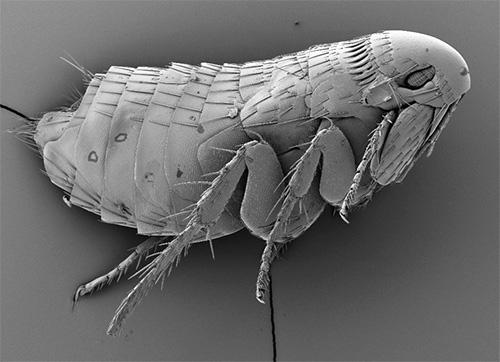 Фотография блохи, сделанная с помощью электронного микроскопа