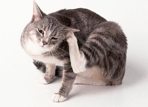 Если кошка часто чешется - это может быть признаком наличия у нее блох