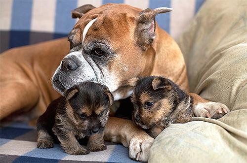 С блохастой собаки паразиты легко передаются щенкам