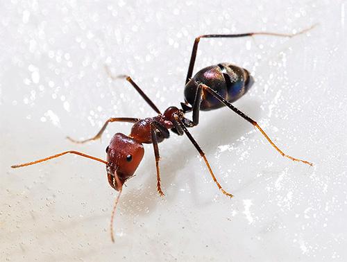 У муравьев борная кислота вызывает нарушения в работе нервной системы